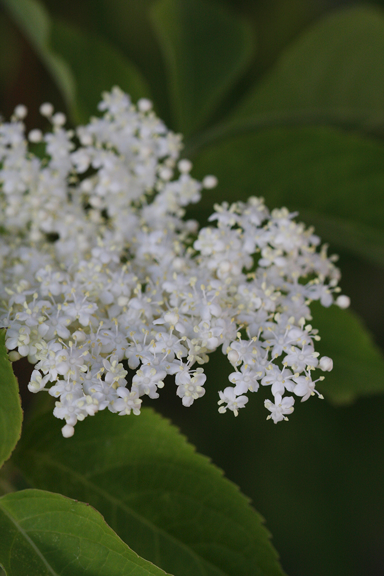 Elderflowers Photo - Philip Blankenship